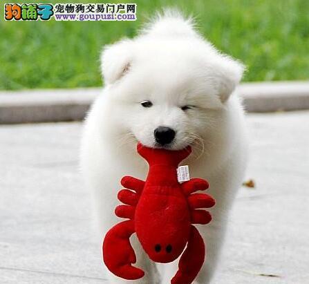 信誉实体店出售微笑天使青岛萨摩耶 保证血统纯正