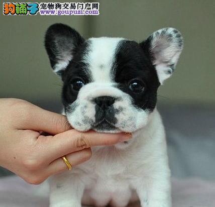 上海狗舍直销斗牛犬签售后品种齐全欢迎选购图片
