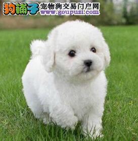 比熊CKU认证犬舍自繁自销微信咨询看狗狗照片