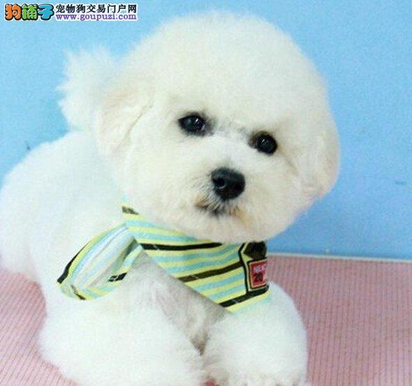甜美脸型活泼可爱的贵阳比熊犬热卖中 多只幼犬供选择