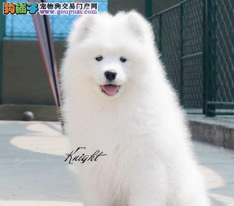 朝阳售顶级澳版萨摩耶幼犬大毛量萨摩微笑脸天使身材