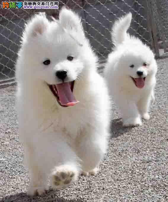 家养精品萨摩耶促销中烟台市内购犬可优惠