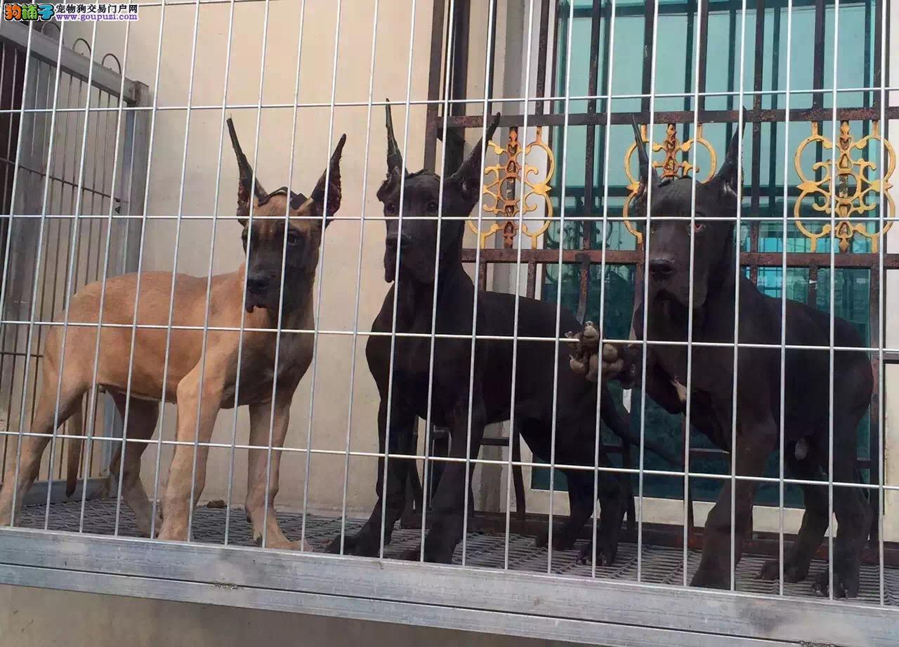 大丹犬青岛CKU认证犬舍自繁自销可刷卡可视频图片