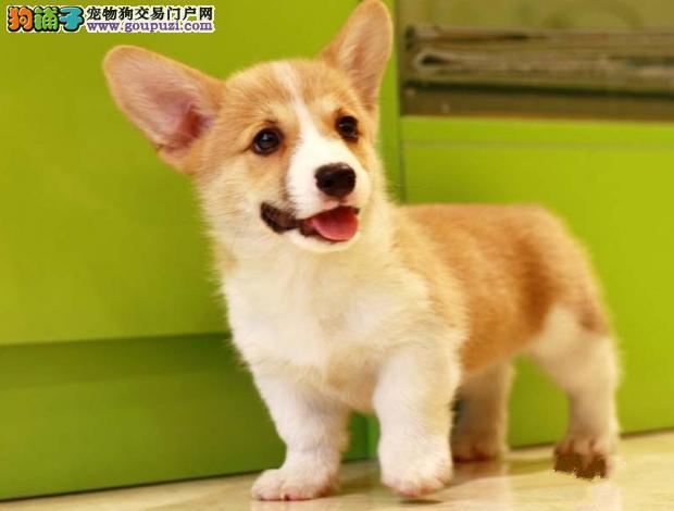 精品纯种柯基犬出售三色黄白花都有纯种柯基犬多少钱