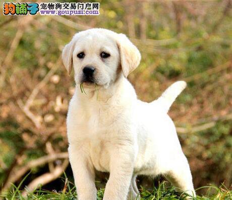 上海 纯种拉布拉多拉拉犬神犬小七寻温暖的家