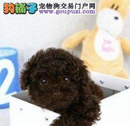 深圳犬舍出售纯种贵宾犬品相好疫苗齐全