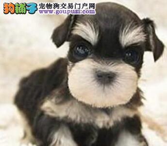 椒盐色深灰色的广州雪纳瑞幼犬找新家 请大家放心选购图片