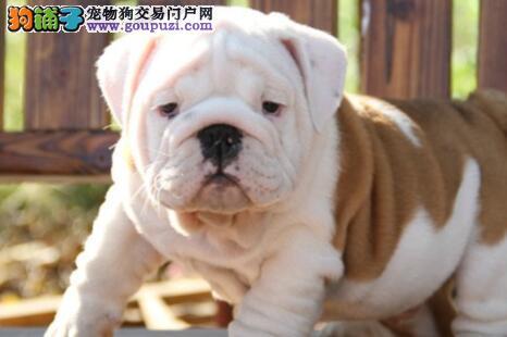 精心繁殖纯种英国斗牛犬出售 大鼻筋 颜色全 公母均有