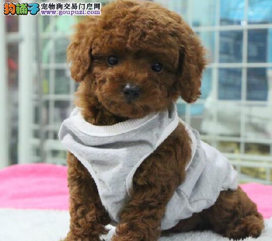 超大体型的贵宾犬找爸爸妈妈 广州市内免费送货上门