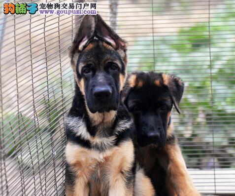 广州售锤系血统 纯种黑背德国牧羊犬 德牧犬公母全有