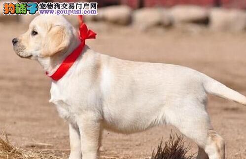 成都狗场直销拉布拉多犬包纯种健康签协议疫苗已做好