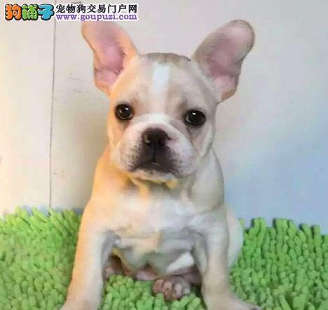顶级品质斗牛犬郑州狗场热销 欢迎上门购买可享优惠