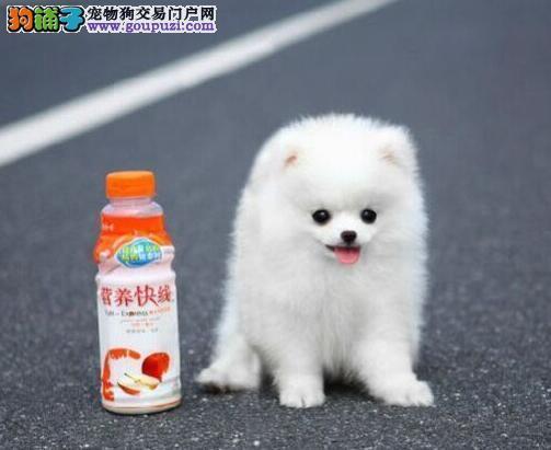 武汉家养博美犬 纯种博美多少钱 哈多利博美实物拍摄