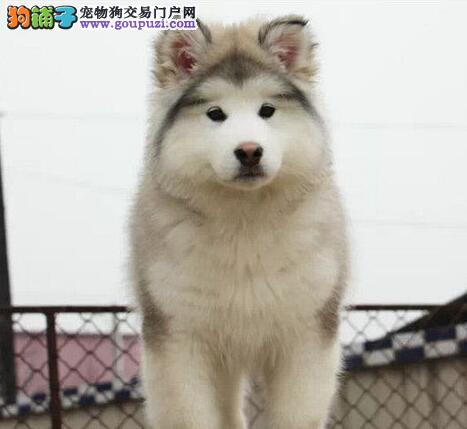 犬舍直销品质好的福州阿拉斯加雪橇犬驱虫已做