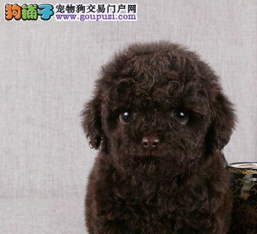 通辽市出售贵宾犬 公母都有 质保三年 免费饲养指导
