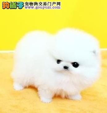 多只精品博美犬低价促销中武汉周边地区可送用品