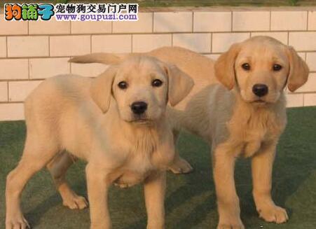 广州高品质纯血统拉布拉多犬幼犬出售 聪明可爱易训练