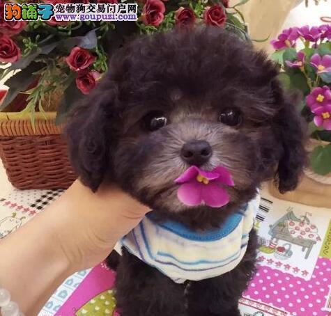自家繁殖纯种泰迪犬出售烟台市区内购买可送货