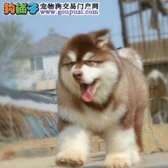 出售巨型阿拉斯加幼犬 骨量足 毛量好 品相极佳