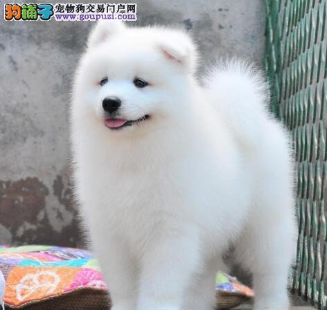 上海家养澳版萨摩宝宝多只挑选健康签协议看萨摩耶父母