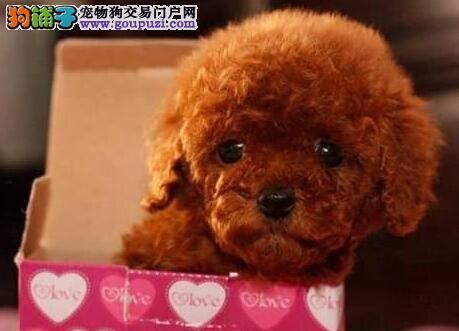 广州专业繁殖纯种、高品质小体泰迪幼犬 可签订协议