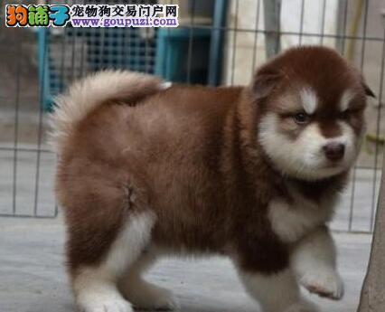 十字脸品相超棒的阿拉斯加犬找新家 呼和浩特市内送货