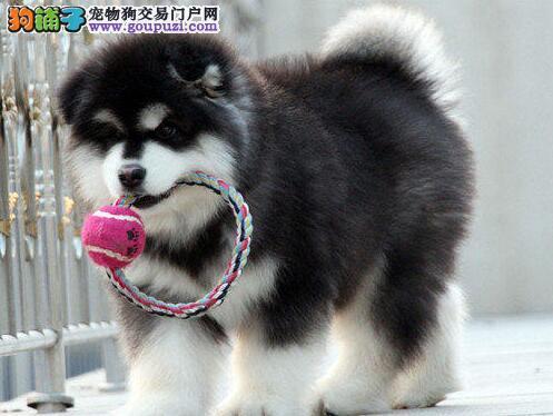 上海售健康大阿幼犬阿拉斯加雪橇犬 阿拉斯加犬