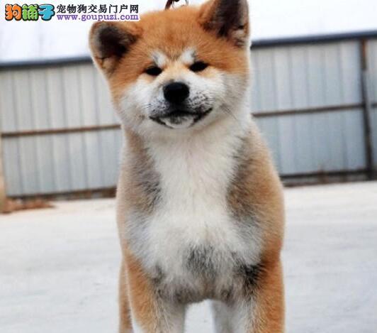 深圳专业犬舍直销纯种日系秋田犬 品质有保证可空运
