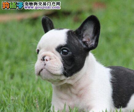 顶尖品质 出售纯种斗牛幼犬,品质、健康双保图片