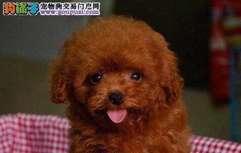 北京贵宾犬价钱 在北京哪里有卖贵宾犬纯种贵宾犬价钱