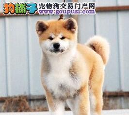 自家繁殖赛级品质石家庄秋田犬带血统证书图片