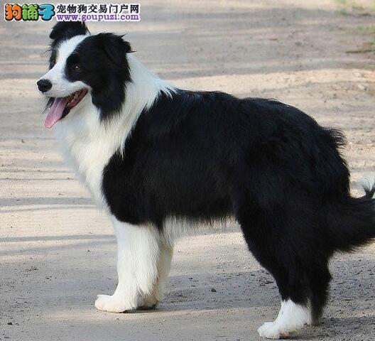 出售冠军级血系贵阳边境牧羊犬 颜色多样欢迎上门挑选