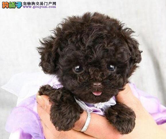 长沙专业繁殖纯种泰迪幼犬送泰迪上门签协议保健康
