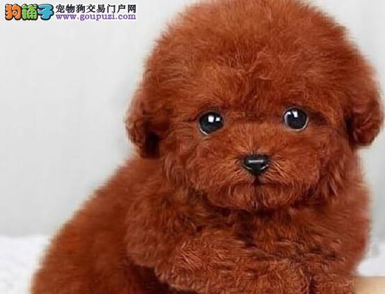 CKU血统贵宾犬BOB冠军血系直子出售可签署三年质保协议
