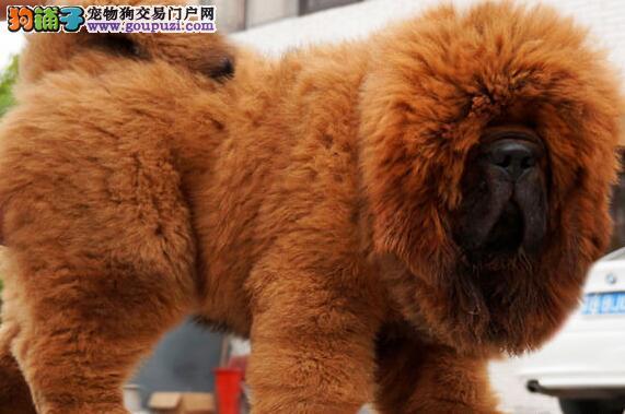上饶市出售大狮头藏獒 保纯保健康 饲养指导 价格优惠