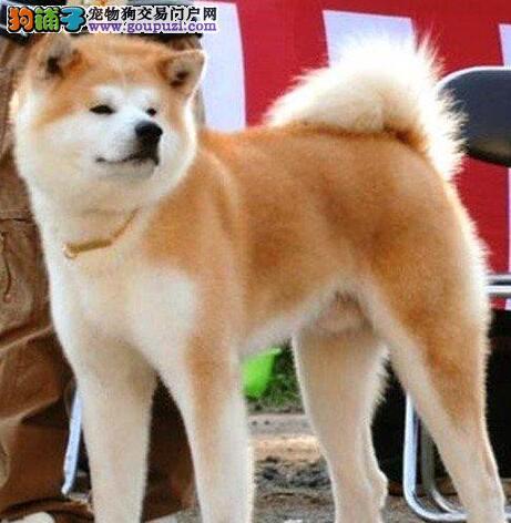 犬舍直销赛级品质南昌秋田犬毛色亮丽带血统图片