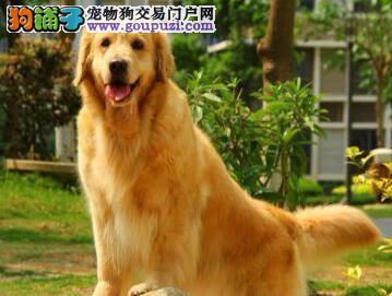 重庆大头版大骨量英系美系金毛巡回犬 当场验健康品质