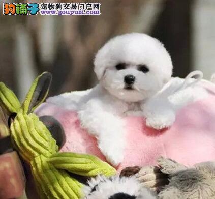 重庆自家养比熊宝宝出售