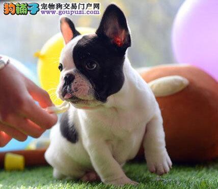 家养赛级法国斗牛犬宝宝品质纯正微信咨询看狗
