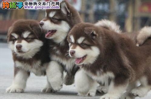 石家庄赛级阿拉斯加雪橇犬直销 阿拉幼犬健康有保障