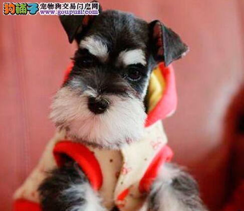 极品赛级雪拉瑞幼犬多只可供挑选