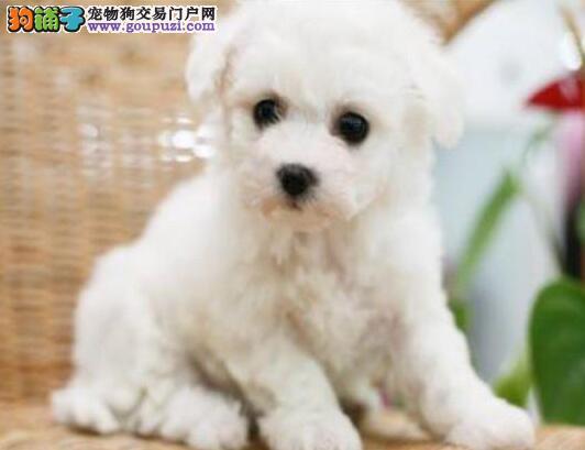 合肥正规犬舍繁殖出售比熊犬 卷毛棉花糖版极品品相图片