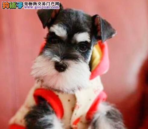 家养多只雪纳瑞出售乌鲁木齐周边地区购犬有礼品
