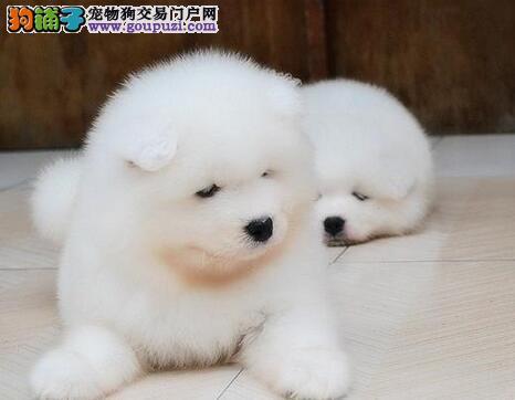 成都售纯种奥版萨摩幼犬 小萨 萨摩耶幼犬