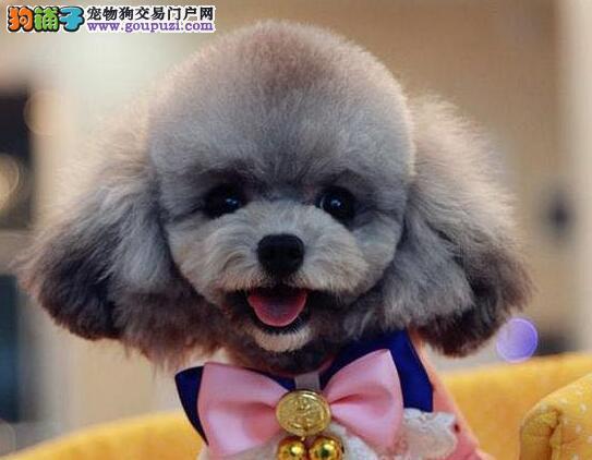 天津出售纯真可爱的泰迪熊颜色全多只选低价转让泰迪犬