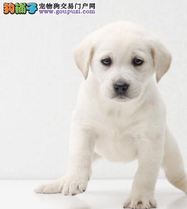 长沙顶级拉布拉多导盲犬血统纯正健康质保可签订协议