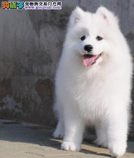 南京纯种萨摩耶犬健康纯种 低价转让萨摩耶 信誉好图片