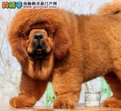 武汉出售纯种幼犬藏獒红獒雪獒铁包金品种齐全健康保障