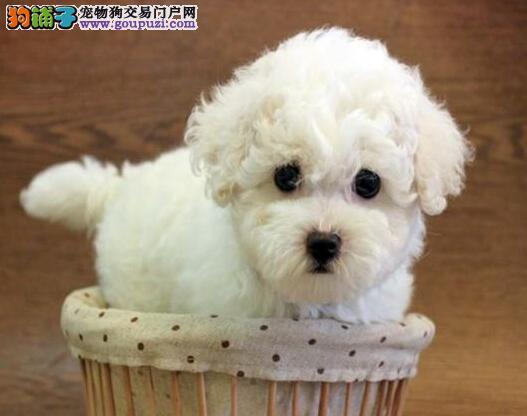 实体店直销血统纯正上海比熊犬品质好包养活