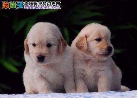 精心培育   活泼健康、帅气英系(金毛幼犬)出售